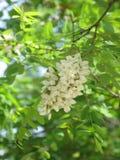 Kwitnąca biała akacja zdjęcie stock