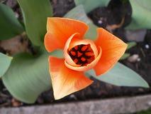 Kwitnącego czerwonego tulipanowego graig odgórny widok w górę fotografia stock