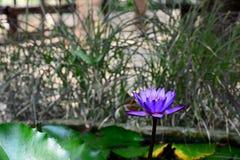 Kwitnący Błękitny i Fiołkowy Nymphaea Lotus z Zamazanym tłem obrazy stock