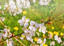 Kwitnąć śniadanio-lunch czereśniowy drzewo Zdjęcie Royalty Free