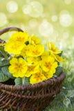 Kwitnąć żółtego pierwiosnku w koszu Obrazy Stock