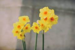 Kwitnąć żółtych daffodils zdjęcie stock