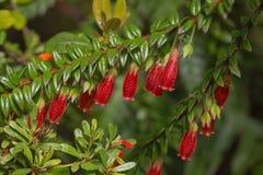 Kwitnąć Agapetes serpens rośliny Zdjęcia Royalty Free
