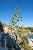 Kwitnąć agawę Bardzo rzadki agawa kwiat Agawa morzem Zdjęcia Stock