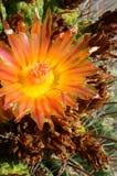 Kwitnąć Arizona kaktusa Zdjęcia Stock