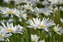 Kwitnąć białe stokrotki w ogródzie Wiosna Fotografia Royalty Free