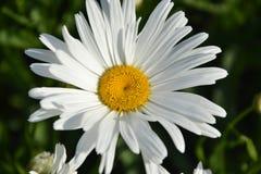 Kwitnąć białe stokrotki w ogródzie Wiosna Zdjęcia Stock