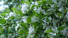 Kwitnąć biały jabłczany chiński drzewo Wielka natury wiosny scena z kwitnienie gałąź Wideo HD materiał filmowy 1920x1080 zbiory