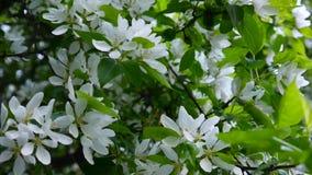 Kwitnąć biały jabłczany chiński drzewo Wielka natury wiosny scena z kwitnienie gałąź Wideo HD materiał filmowy 1920x1080 zdjęcie wideo