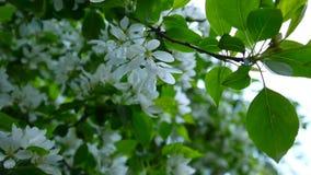 Kwitnąć biały jabłczany chiński drzewo Wielka natury wiosny scena z kwitnienie gałąź Wideo HD materiał filmowy 1920x1080 zbiory wideo