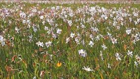 Kwitnąć biali daffodils w polu Piękny kwiecisty krajobraz zdjęcie wideo