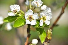 Kwitnąć brzoskwini drzewo w wiośnie obrazy stock