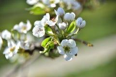 Kwitnąć brzoskwini drzewo w wiośnie zdjęcie royalty free