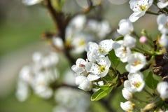 Kwitnąć brzoskwini drzewo w wiośnie zdjęcia stock