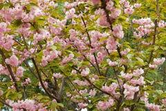 Kwitnąć brzoskwini gałąź Obrazy Royalty Free