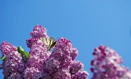 Kwitnąć bzu i motyla przeciw niebieskiemu niebu wiosna kwiat Kopii przestrzenie Fotografia Royalty Free
