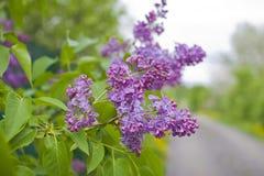 Kwitnąć bzu krzaka w ogródzie Zdjęcia Royalty Free