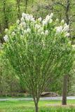 Kwitnąć Crabapple drzewa obrazy royalty free