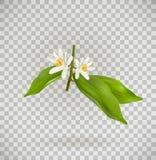 Kwitnąć cytrus rośliny gałąź odosobnionego ontransparent tło Realistyczna wektorowa ilustracja obrazy stock