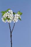 Kwitnąć Czereśniowego drzewa Obrazy Stock