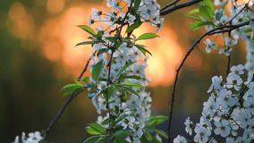 Kwitnąć czereśniowego sad na tle powstający słońce zdjęcie wideo