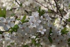 Kwitnąć czereśniowy drzewo Zdjęcia Royalty Free