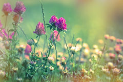 Kwitnąć czerwona koniczyna - zbliżenie Zdjęcie Stock