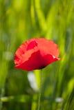 Kwitnąć czerwonego maczka Obrazy Stock