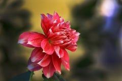 kwitnąć Dalia kwiatu Obrazy Stock