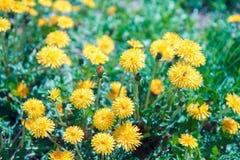 Kwitnąć dandelions gazon w wiośnie fotografia royalty free