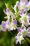 Kwitnąć Dendrobium bigibbum orchidei Zdjęcia Stock