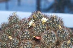 Kwitnąć domowego kaktusa Zdjęcia Stock