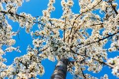 Kwitnąć drzewa Obrazy Royalty Free