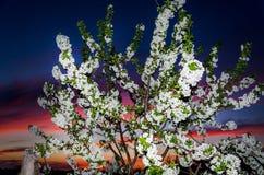 Kwitnąć drzewa przeciw pięknemu zmierzchowi Obraz Royalty Free