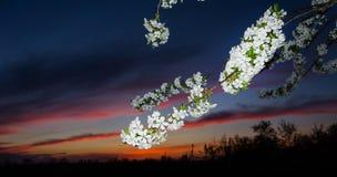 Kwitnąć drzewa przeciw pięknemu zmierzchowi Fotografia Stock