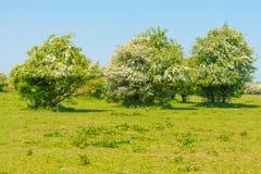 Kwitnąć drzewa w polu w wiośnie Zdjęcia Royalty Free