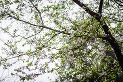 Kwitnąć drzewa W Szkockiej mgle Fotografia Stock