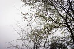 Kwitnąć drzewa W Szkockiej mgle Obrazy Stock