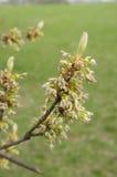 Kwitnąć drzewo Zdjęcie Stock