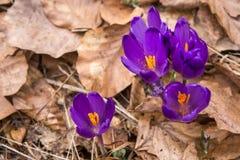 Kwitnąć dziki szafran, krokus dziki w wczesnej wiośnie, kiełkowanie pierwszy greenery spod śniegu, Ukraina, Carpathians Obraz Royalty Free