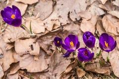 Kwitnąć dziki szafran, krokus dziki w wczesnej wiośnie, kiełkowanie pierwszy greenery spod śniegu, Ukraina, Carpathians zdjęcie stock