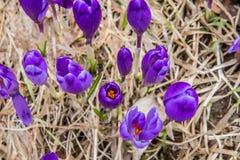 Kwitnąć dziki szafran, krokus dziki w wczesnej wiośnie, kiełkowanie pierwszy greenery spod śniegu, Ukraina, Carpathians Fotografia Stock
