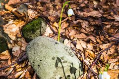 Kwitnąć dziki szafran, krokus dziki w wczesnej wiośnie, kiełkowanie pierwszy greenery spod śniegu, Ukraina Carpathians fotografia royalty free