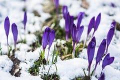 Kwitnąć dziki szafran, krokus dziki w wczesnej wiośnie, kiełkowanie pierwszy greenery spod śniegu, Ukraina Carpathians Fotografia Stock