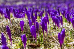 Kwitnąć dziki szafran, krokus dziki w wczesnej wiośnie, kiełkowanie pierwszy greenery spod śniegu, Ukraina, Carpathians Obraz Stock