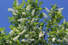 Kwitnąć gałąź akacja przeciw niebieskiemu niebu zdjęcie royalty free