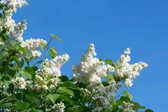 Kwitnąć gałąź biały bez Zdjęcie Royalty Free