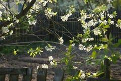 Kwitnąć gałąź jabłoń zdjęcia stock