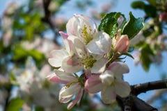 Kwitnąć gałąź jabłoń w wiośnie zdjęcia stock