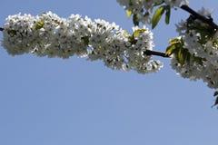 Kwitnąć gałąź owocowi drzewa Obraz Royalty Free